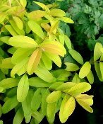 Hypericum Brigadoon Golden St Johns Wort Ground Cover Shady Gardens Nursery