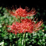 Lycoris radiata Red Hurricane Spider Lily Shady Gardens Nursery online