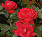 Rose Knock Out Shrub Price Includes Delivery