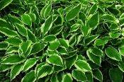 Hosta Perennial Groundcover Plant Price Includes Delivery