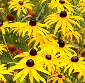Rudbeckia Goldsturm Native Black Eyed Susan Wildflower Shady Gardens Nursery