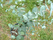 Eucalyptus Silver Dollar Tree Price Includes Shipping