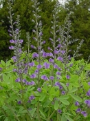 Baptisia Australis Blue False Indigo