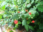 Hibiscus coccineus Texas Star native swamp hibiscus mallow Shady Gardens Nursery online