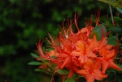 Rhododendron Native Florida Flame Azalea Shady Gardens Nursery