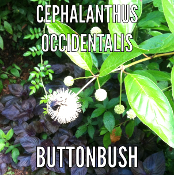 Cephalanthus occidentalis Buttonbush growing at Shady Gardens Nursery