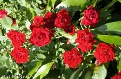Rose Red Cascade Climbing Groundcover plant from Shady Gardens Nursery online.