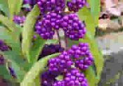 Callicarpa Americana, Purple and White Lutea, American Beautyberry from Shady Gardens Nursery online