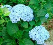 Penny Mac Hydrangea, macrophylla, repeat bloomer Shady Gardens Nursery.