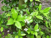Jasmine Asian Vine Gallon Plant Price Includes Delivery