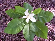 Magnolia Ashei Bigleaf Tree Shrub Price Includes Delivery