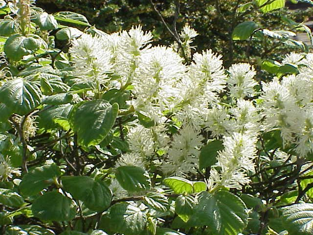 Fothergilla blooms at Shady Gardens Nursery