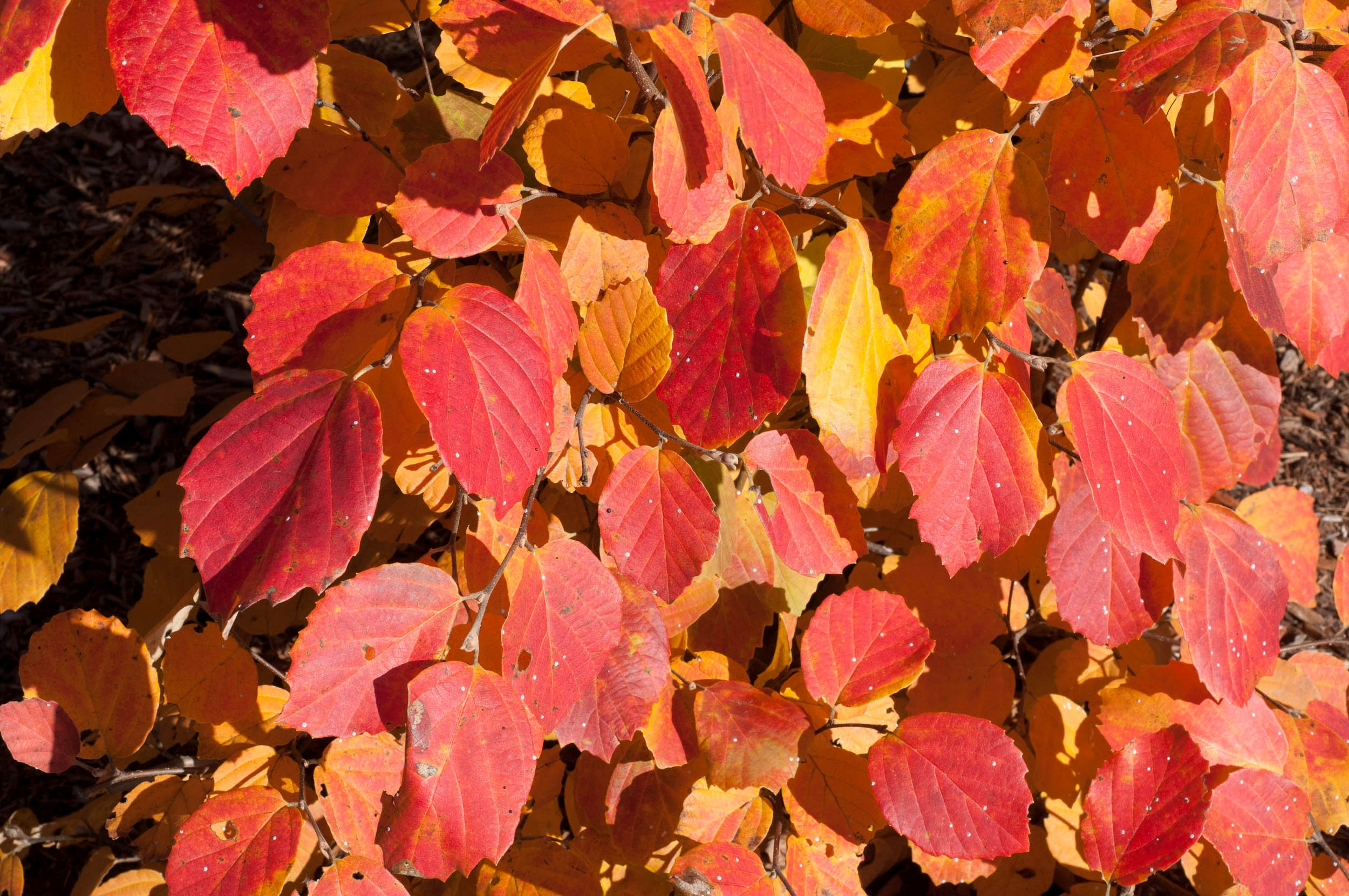 Fothergilla in Fall at Shady Gardens Nursery