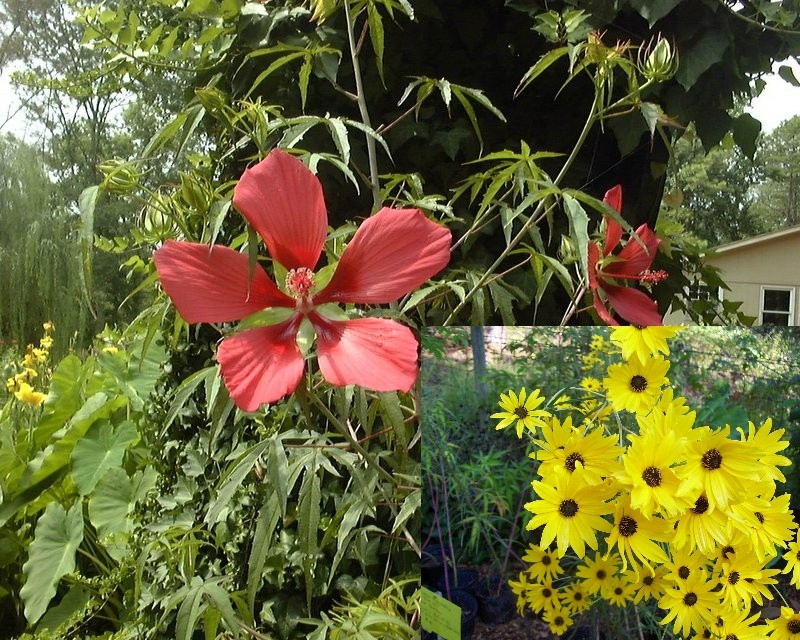 Hibiscus coccineus & Helianthus make great companions
