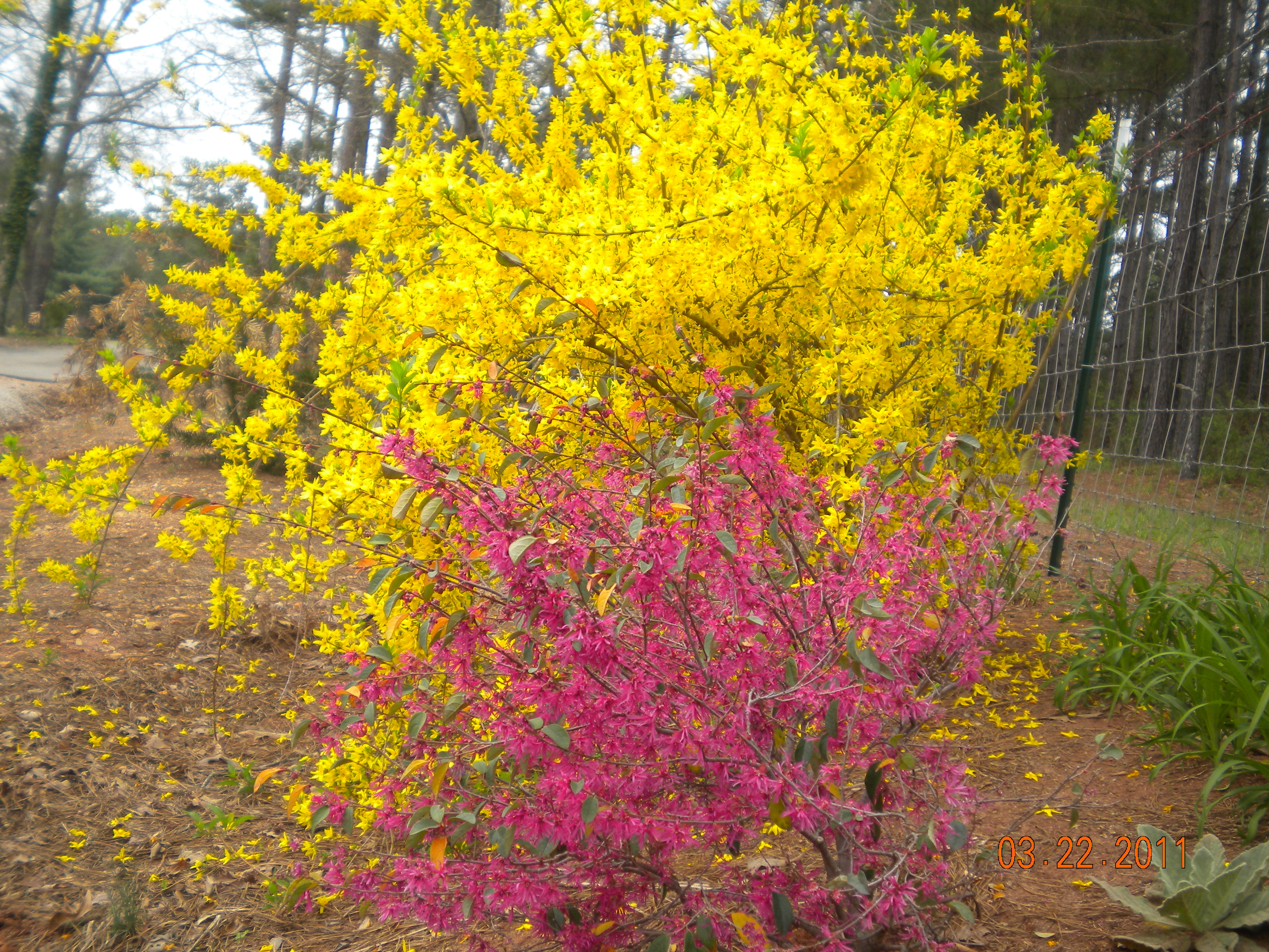 Forsythia and Loropetalum