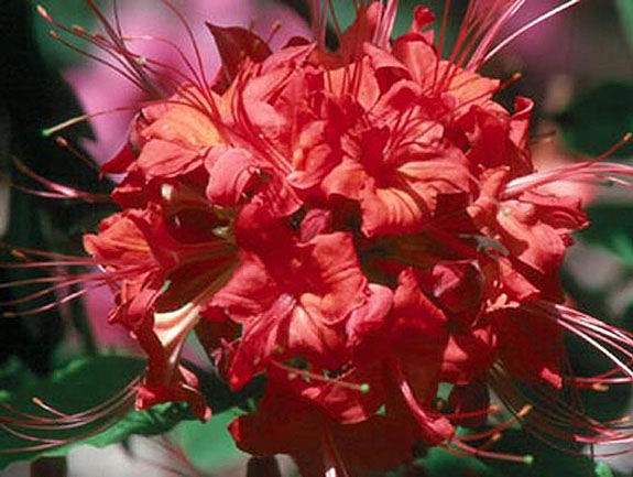 Rhododendron flammeum 'Ed Stephens'